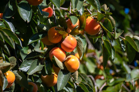Persimmons fruit tree with ripe sweet orange fruits ready to harvest Stockfoto