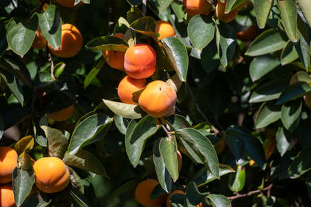 Persimmons fruit tree with ripe sweet orange fruits ready to harvest Imagens