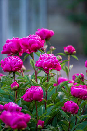 Seasonal blossoming of colorful big peony roses in garden in summer Stock Photo