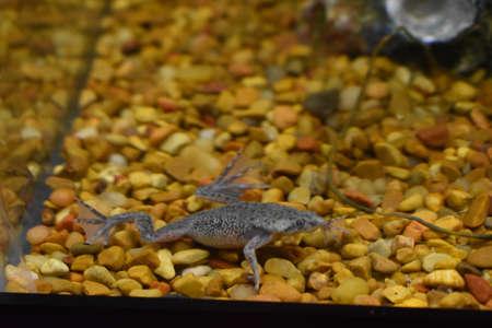 Afrikanischer Zwergfrosch in meinem Aquarium Standard-Bild