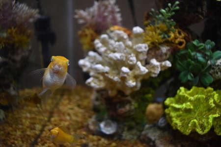 Mollys in a Fish Tank Banco de Imagens