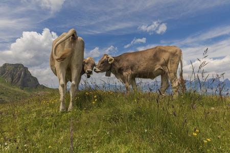 Felices vacas suizas Editorial