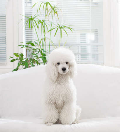 White poodle lying on the bed in the living room photo