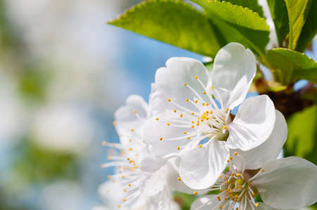 Spring flowers of fruit trees photo
