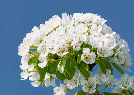 alberi da frutto: Fiori di primavera di alberi da frutto