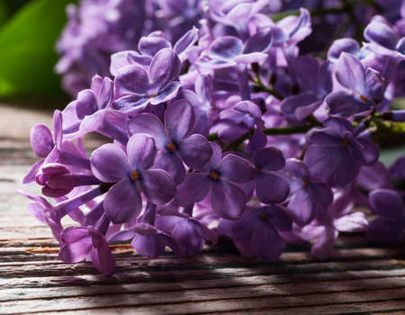 purple lilac: Purple Lilac flowers