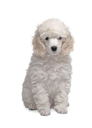 whelp: Small white poodle