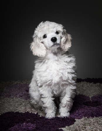 white poodle: white poodle