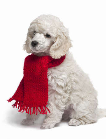 red scarf: Small white poodle with a red Scarf isolated on white
