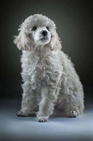 white poodle: Small white poodle posing Stock Photo