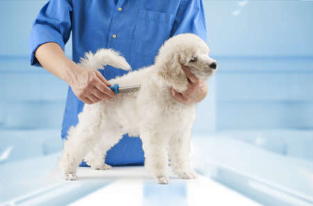 grooming dog: Poodle grooming at the salon for dogs
