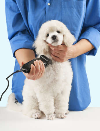 coif: Poodle grooming at the salon for dogs