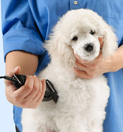 groomer: Poodle grooming at the salon for dogs