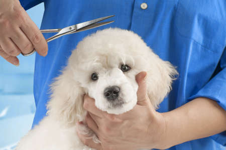 haircut: Poodle grooming at the salon for dogs
