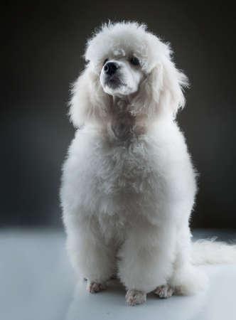 white poodle: Portrait of the white poodle