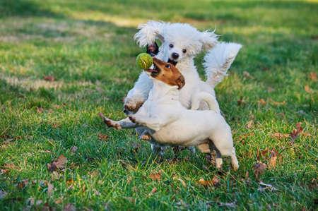 perros jugando: Los perros que juegan con bool