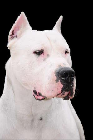 argentino: Dogo argentino