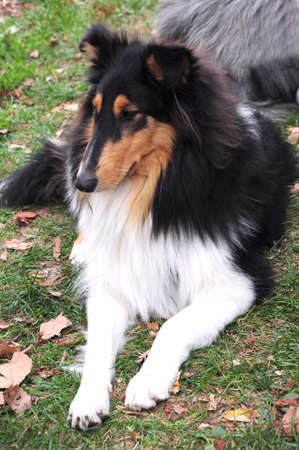 obedient: You see a cute and obedient Collie. Stock Photo