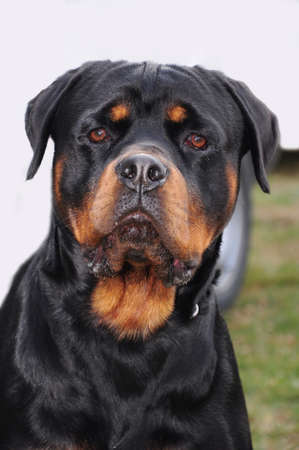 pure blooded: portrait of a purebred rottweiler in a garden