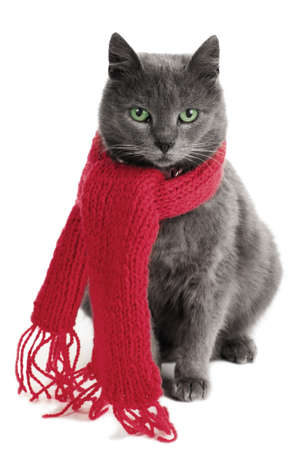 gray cat with a red Scarf Stock Photo
