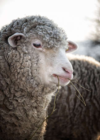 likable: Sheep portrait