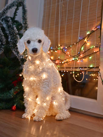 beautiful white dog posing with christmas lights stock photo 49127156