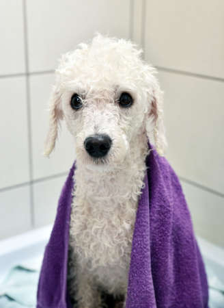 poodle: White  poodle after a bath towel in the bathroom