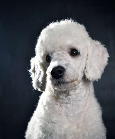 white poodle: Small white poodle posing in the studio Stock Photo