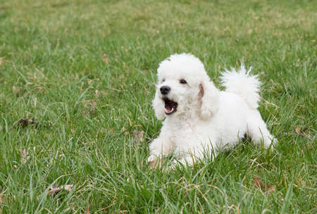 white poodle: White poodle puppy  lying in the grass