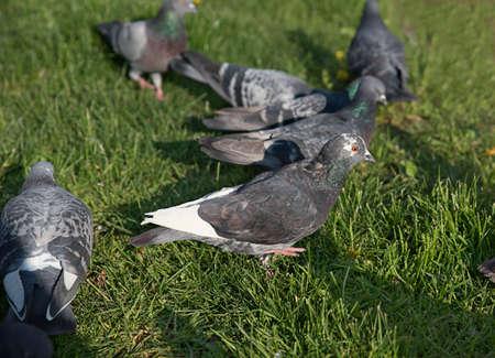pidgeon: Flock of Pigeon in the group eat food