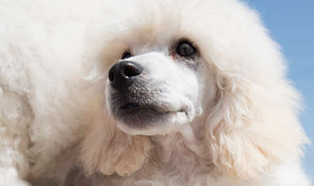 white poodle: Portrait of a white poodle puppy