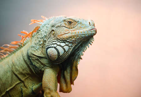 natural setting: Iguana profile; large green iguana in a natural setting against