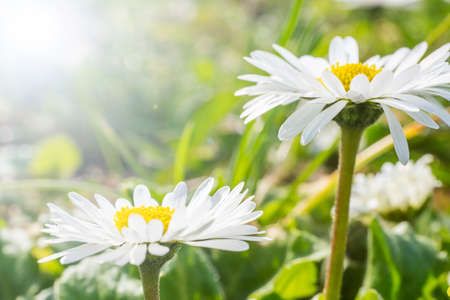daises: Summer nature background with daises and sunlight