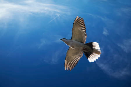 Gray pigeon flying on a sunny day Stock Photo