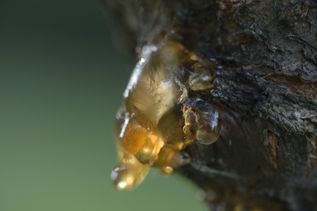 A drop of tar drips down the trunk of the apple tree.