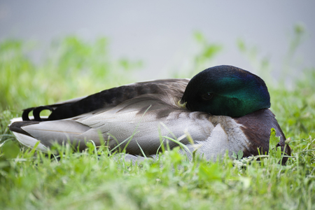 Drake. Duck Progeny. Wild duck. Stok Fotoğraf