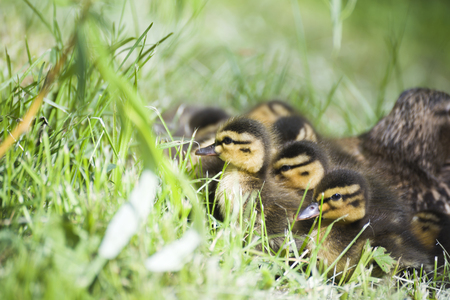 Duck with ducklings. Ducklings. Drake. Duck Progeny. Wild duck.