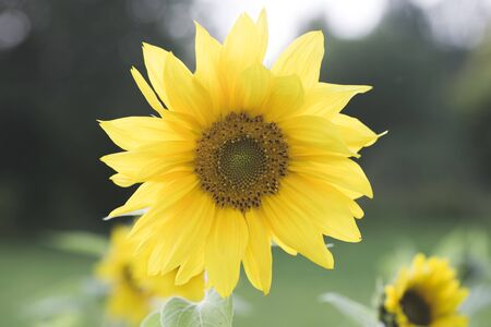 Yellow sunflower in an agricultural field in summer. Sunflower in the morning sun in a park.