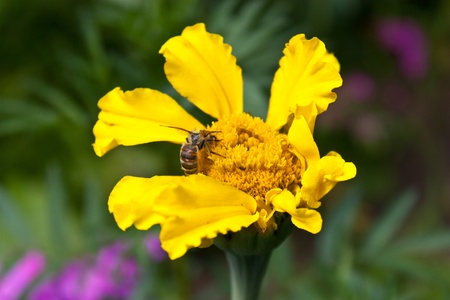 A bee collects pollen from a flower. photo