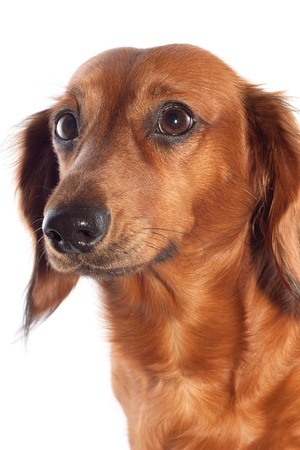 Brown dachshund on a white background