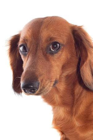 Brown dachshund on a white background   photo