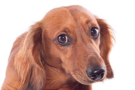 Brown dachshund on a white background