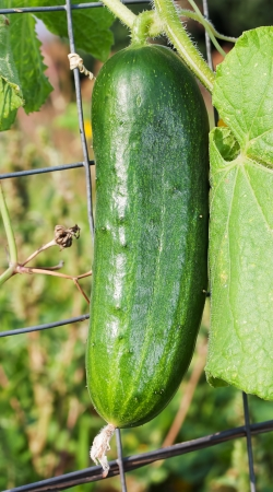 One cucumber outdoor photo