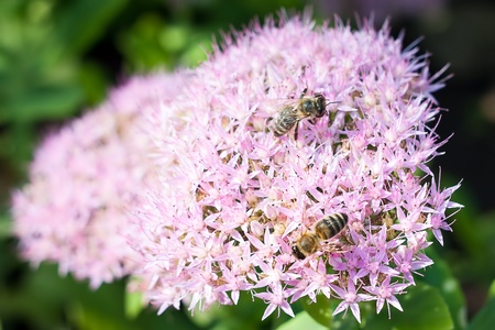 A bee pollinating a flower blue   Stock Photo