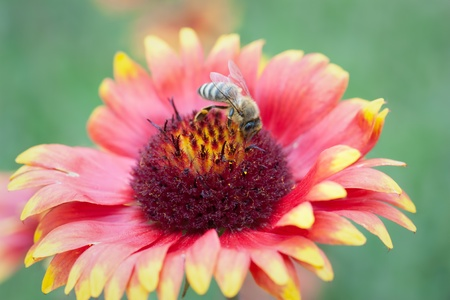 A bee collects ardent on the red and yellow flowers  photo