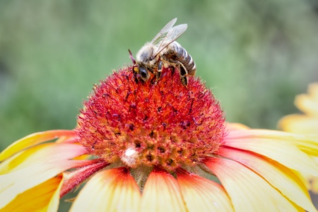 A bee collects ardent on the red and yellow flowers  Stock Photo - 16536900