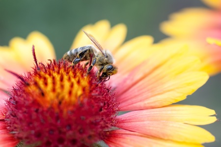 A bee collects ardent on the red and yellow flowers  Stock Photo