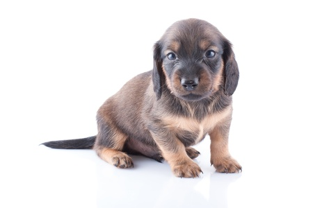 Little dachshund puppy on a white background  Stock Photo