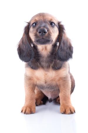 Little dachshund puppy on a white background  Stock Photo