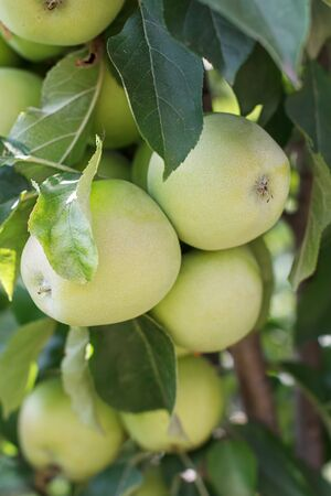 Juicy green apples outdoors